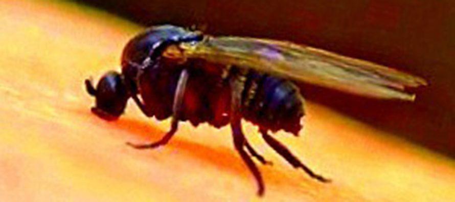 Por las inundaciones de campos, llegó la mosca Barigüí a la región