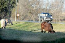 Policiales: caballos sueltos provocaron un nuevo accidente en ingreso a Las Varillas