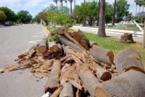 Extrajeron tres palmeras secas de grandes dimensiones en la Plaza 25 de Mayo